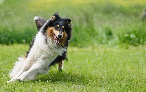 more-great-family-pets-collies.jpg